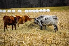 Cows in Charlton.jpg