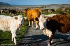 Cows in the Burron Ireland
