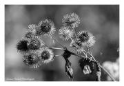 BW-Flower-balls