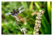 Broken-Wing-Dragon-fly