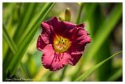 Red-flower-at-Landis