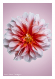 white-flower-on-pink-background