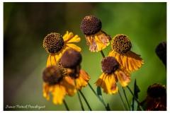 Ball-flowers-at-Landris