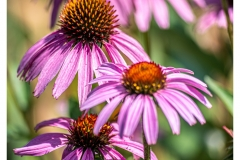 Purple-ball-flowers-at-Landris
