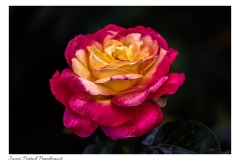 Red-yellow-rose