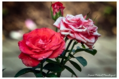 pink-and-red-roses