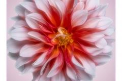 white-flower-on-pink-background