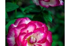 white-pink-roses
