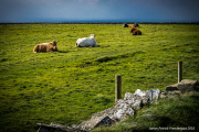 cows at the cliffs of Moher.jpg