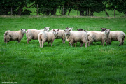 Sheep-in-Ireland